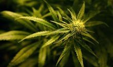 Cannabis more damaging to under-18s, study suggests | Science In The News | Scoop.it