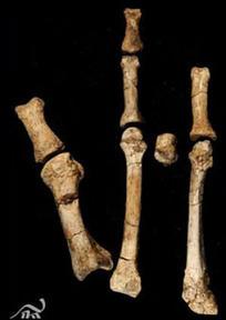 Un nouvel hominidé arboricole ?   Aux origines   Scoop.it