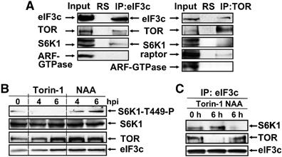 TOR and S6K1 promote translation reinitiation of uORF-containing mRNAs via phosphorylation of eIF3h | Plant genetics | Scoop.it