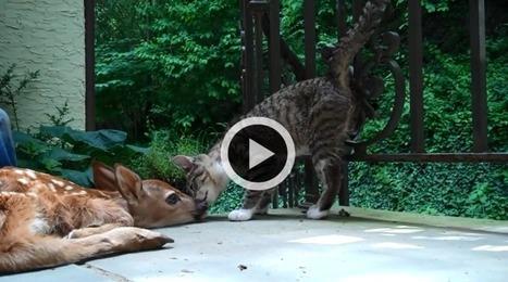 Le chat qui veut jouer et le faon qui veut se reposer (Vidéo du jour) | CaniCatNews-actualité | Scoop.it