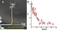 Unifying model of shoot gravitropism reveals proprioception as a central feature of posture control in plants | plant cell genetics | Scoop.it