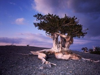 What is the fate of the oldest trees on earth?   Gaia Ways   Scoop.it