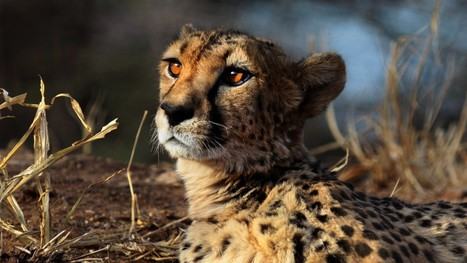 Report: Cheetahs are racing toward extinction | Chronique d'un pays où il ne se passe rien... ou presque ! | Scoop.it