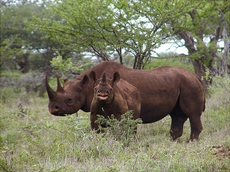 Can trophy hunting actually help conservation? - Conservation | Save our Rhino and all animals...this is what it looks like!!!!! | Scoop.it