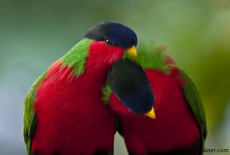 Cute Collared Lory Parrots | Pictures of the Planet | Parrot Partner | Scoop.it