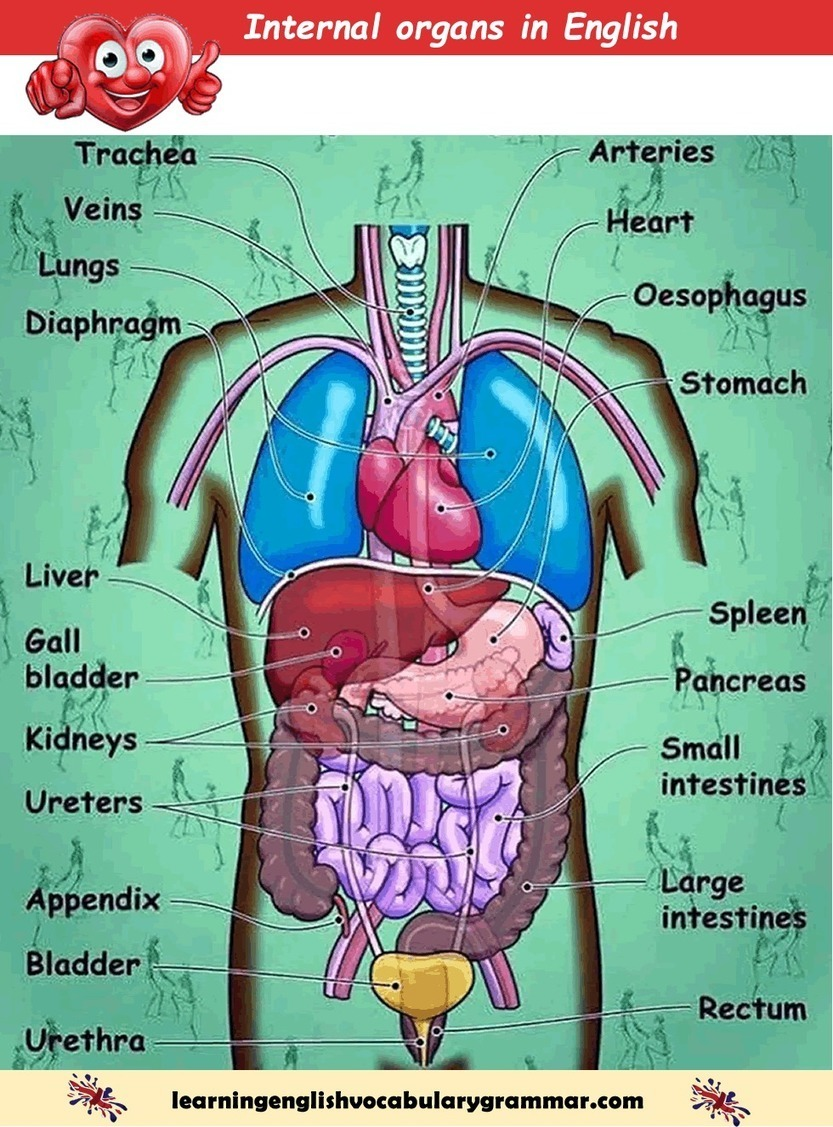 Internal Organs Of The Human Body List Pdf Le