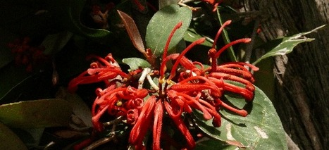 Parks Victoria - New Grevillea species discovered in North Eastern Victoria | Australian Plants on the Web | Scoop.it
