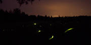 These Firefly-Inspired Lights Don't Need Electricity - PCWorld (blog) | Energy Efficient News | Scoop.it