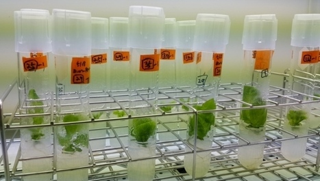 CRISPR tweak may help gene-edited crops bypass biosafety regulation | Plant Genetics, NGS and Bioinformatics | Scoop.it