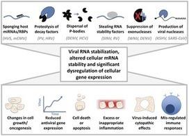PLOS Pathogens: Cytoplasmic Viruses: Rage against the (Cellular RNA Decay) Machine | Viruses and Bioinformatics from Virology.uvic.ca | Scoop.it