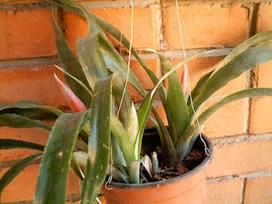 La botánica de Stan: Billbergia desconocida | Aprendiendo Botánica en la escuela | Scoop.it