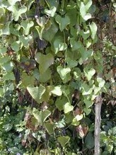 Dutchman's pipe (Aristolochia elegans) | Plant Pests - Global Travellers | Scoop.it