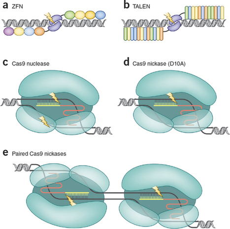 Genome editing comes of age - Nature Protocols | Biotech | Scoop.it