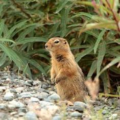 What the Supercool Arctic Ground Squirrel Teaches Us about the Brain's Resilience: Scientific American | Plant Cell Biology | Scoop.it
