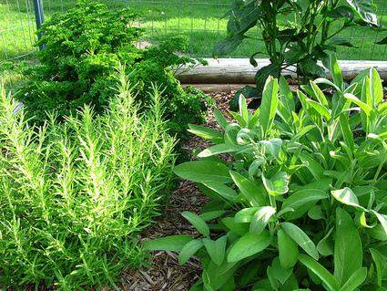 Growing Herbs Outdoors – Tips for Better Crops | Gardeners Tips | 100 Acre Wood | Scoop.it