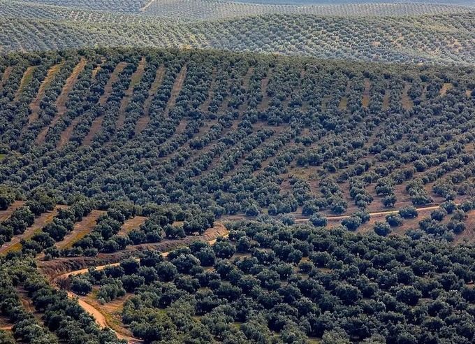 SPAIN's 'Sea of Olives' Among the Candidates for UNESCO Recognition