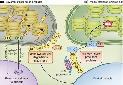Chloroplast quality control – balancing energy production and stress - Woodson - 2016 - New Phytologist - Wiley Online Library   Plant Biology Teaching Resources (Higher Education)   Scoop.it