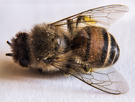 Who's killing the bees? New study implicates modern farming | EduTech Chat | Scoop.it