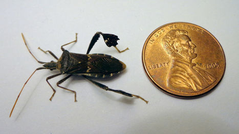 Leaf-footed bug suspected in demise of pomegranate fruit | CALS in the News | Scoop.it