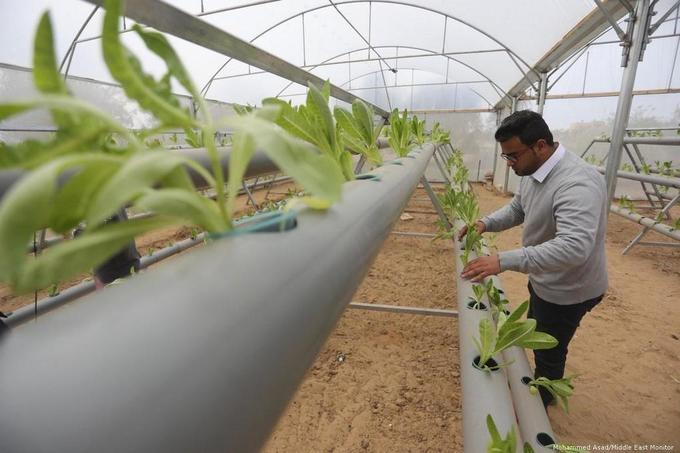 Gaza farmers grow lettuce without soil –