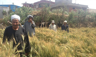 Let them eat vegetables: Egypt's wheat farmers hit hard by diesel price hikes - Economy - Business - Ahram Online | Sustain Our Earth | Scoop.it
