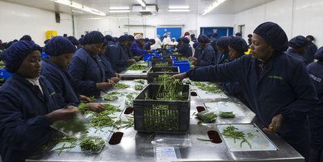 Du Kenya à l'assiette, le parcours pas si vert des haricots | Pour une agriculture et une alimentation respectueuses des hommes et de l'environnement | Scoop.it