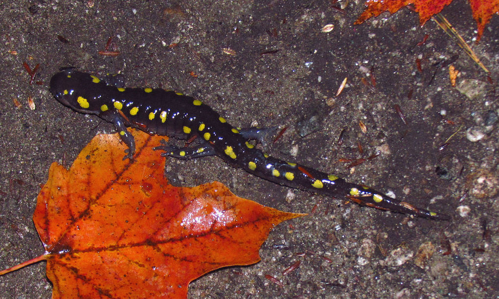 Ambystoma maculatum > la salamandra solar&nb...