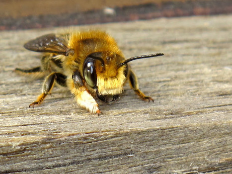 Did you know there are 20,000 species of bees in the world? | Bees and Honey | Scoop.it
