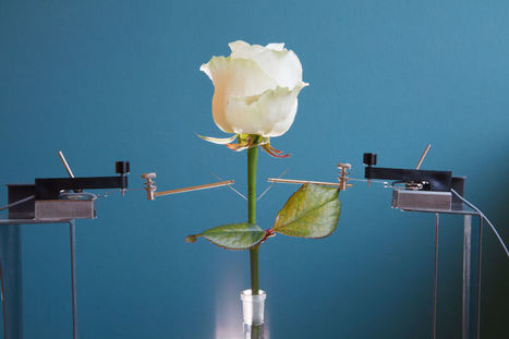 Sweden Researchers Created Electronics Rose | picturescollections | Scoop.it