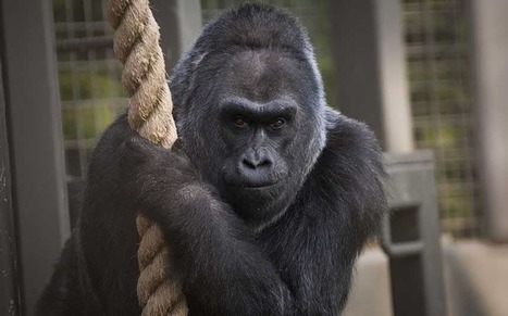 America's oldest gorilla dies aged 60 | Animals R Us | Scoop.it