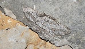 Une nouvelle espèce de papillon découverte en France | EntomoNews | Scoop.it