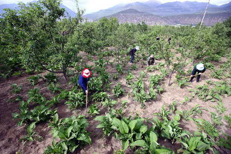 Battle to save valuable Tibetan herbs|Society|chinadaily.com.cn | Erba Volant - Applied Plant Science | Scoop.it