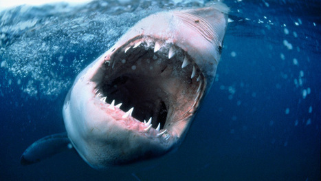 Shark-on-shark attack captured on camera - video | conservation & antipoaching | Scoop.it