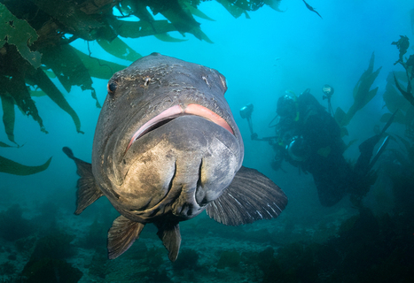 Time is running out for the giant sea bass | #SciFund | Scoop.it