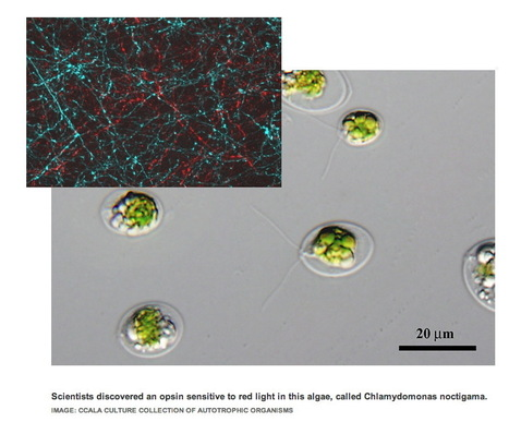Redlight Special: Optogenetic Toolkit Goes Multicolor | Amazing Science | Scoop.it