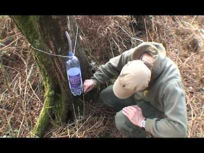 Nature's Energy Drink: how to tap a tree for birch sap & Ben's Law's recipe for birch sap wine   Local Economy in Action   Scoop.it