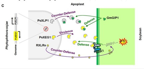 A paralogous decoy protects Phytophthora sojae apoplastic effector PsXEG1 from a host inhibitor | Plant-microbe interaction | Scoop.it