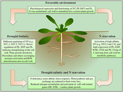 Plant cell wall proteins and development scoop frontiers nitrate uptake affects cell wall synthesis and modeling plant science plant cell ccuart Image collections