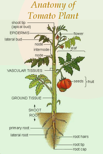 Tomato Plant Anatomy   Organic Farming   Scoop...