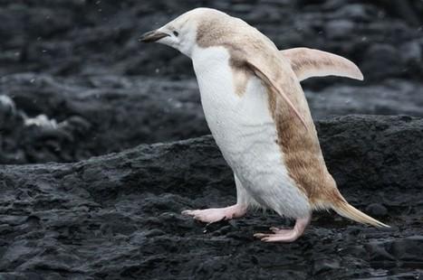 "Rare ""Blond"" Penguin Spotted in Antarctica | IFLScience | Antarctica | Scoop.it"