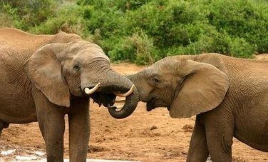 200 Elephants Poached in Africa | Poaching of African Elephants | Scoop.it