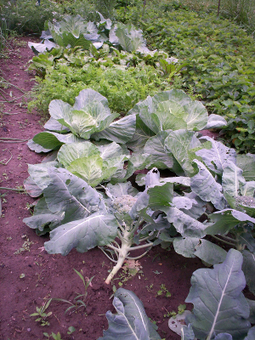 An Ecological Look at Vegetable Gardening Systems | Eco Village | Scoop.it