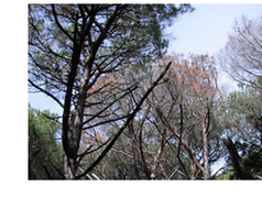 Heterobasidion irregulare: a risk for pine trees   Heterobasidion annosum   Scoop.it