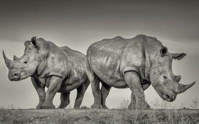 """Organised rhino poaching syndicates highly tactical"" - Eyewitness News | Kruger & African Wildlife | Scoop.it"