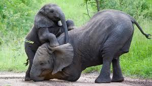 Elephants Console Each Other | Amazing Science | Scoop.it