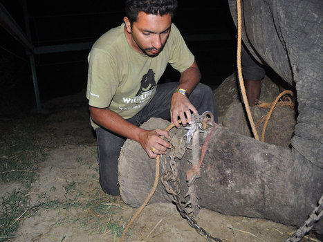 Elephant 'cries' while being rescued after 50 years of abuse in India | Humanity | Scoop.it