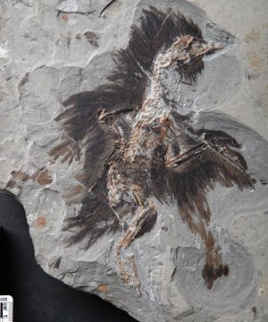 More Original Protein Found in Older Bird Fossil | Conformable Contacts | Scoop.it