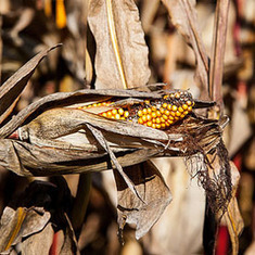 Fortified by Global Warming, Deadly Fungus Poisons Corn Crops, Causes Cancer: Scientific American | Sustain Our Earth | Scoop.it