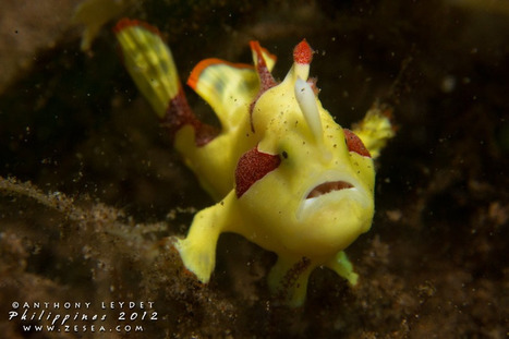 Scuba diving in the Philippines : Dauin, muck and bio dive ! | Scuba Diving Adventures | Scoop.it