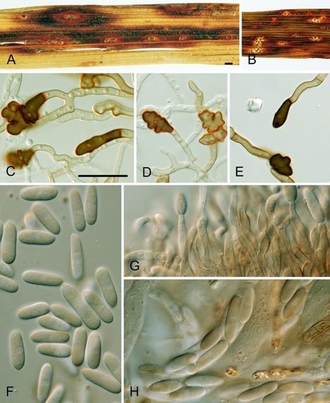 The Colletotrichum gloeosporioides species complex | fungi bacteria publications | Scoop.it